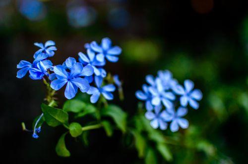 flowers blue nature