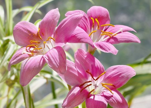 flowers  zephyranthes  pink flowers
