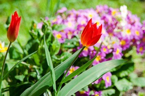 flowers  tulip  red flowers