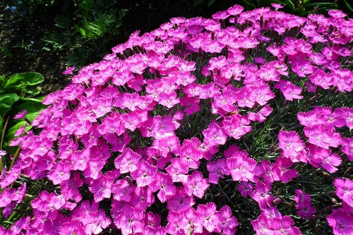 flowers  pink  nature