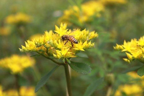 flowers  bee  yellow
