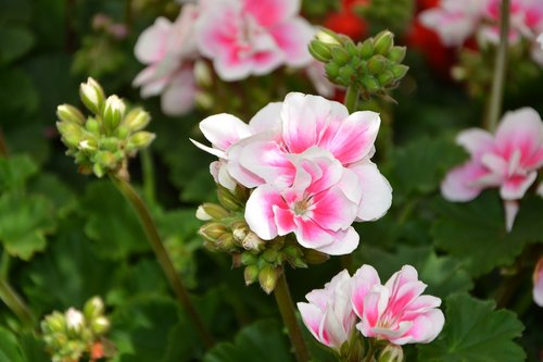 flowers  soft pink flowers with white geranium  managed
