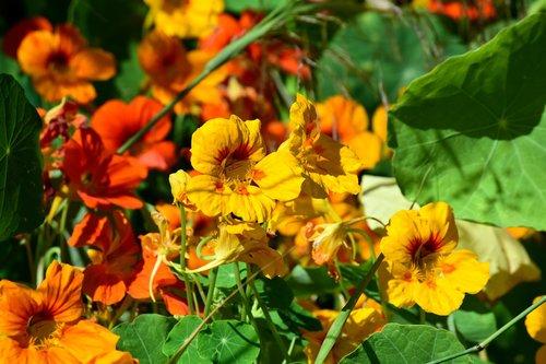 flowers  orange  yellow