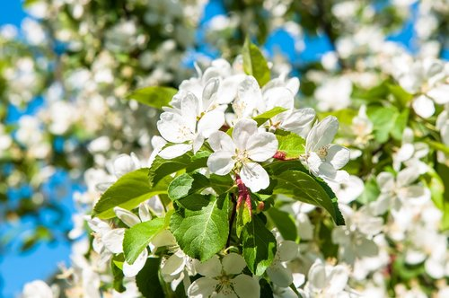 flowers  apple tree  apple flower