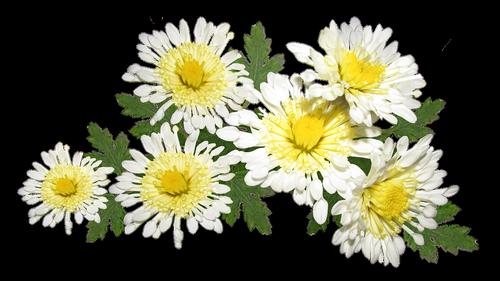 flowers  white  chrysanthemum
