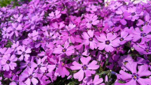 flowers  purple  flower garden