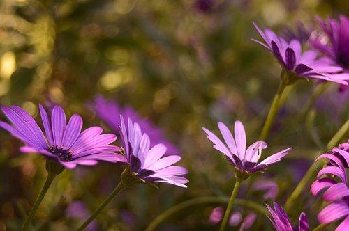 flowers  margaritas  daisies purple