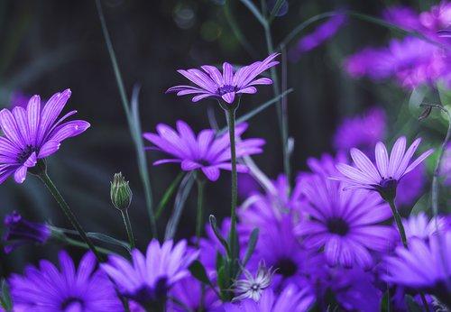 flowers  purple flower  purple daisy