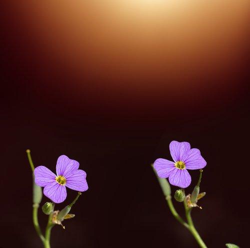 flowers  two  purple