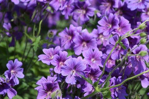 flowers  purple flowers  salpiglossis