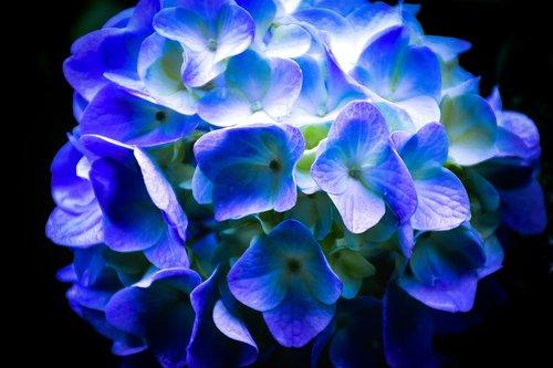 flowers  hydrangea  plant