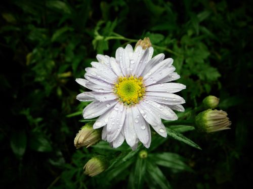 gėlės,gamta,štai,geltona,asteraceae,pušies grybai,rasa