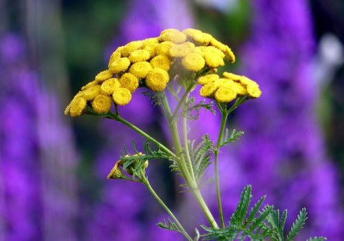 flowers  tansy  plants