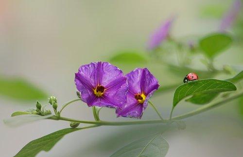 flowers  ladybugs  nature