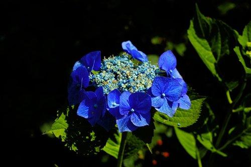 flowers  garden  blue