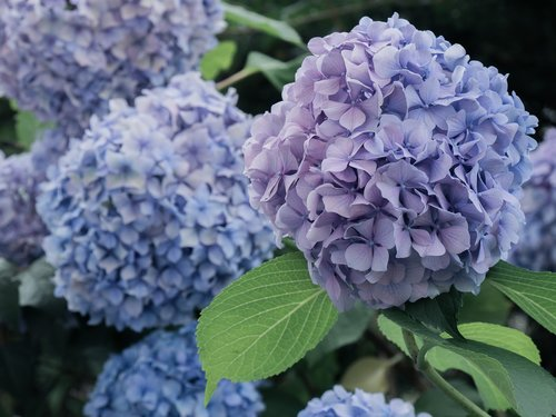 flowers  hydrangeas  blue