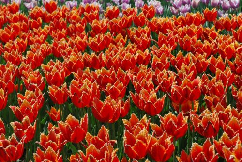 flowers tulips spring