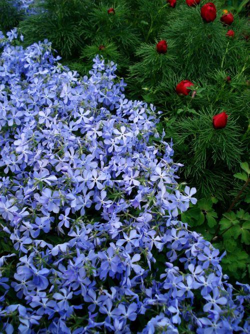 flowers spring flowers blue flowers