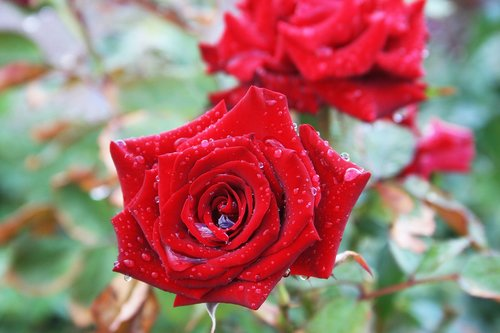 flowers  rose  summer