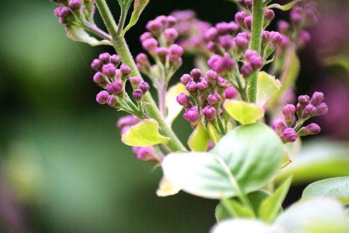 flowers lilac close