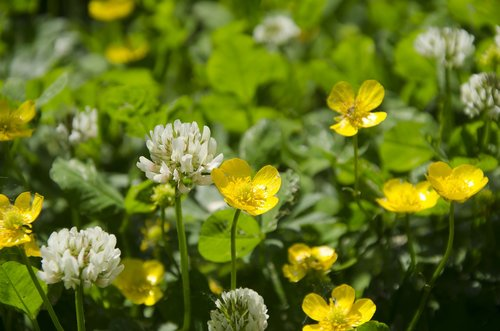 gėlės, pobūdį, geltona, dobilas