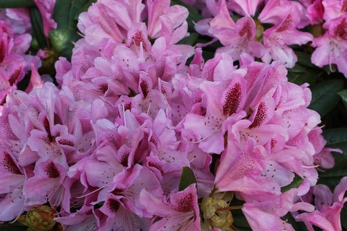 flowers  rododendron  close up