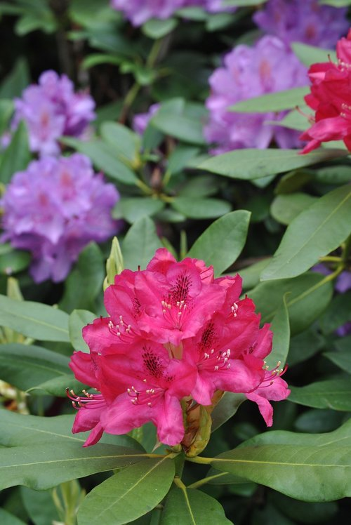 flowers  rhododendron  bush