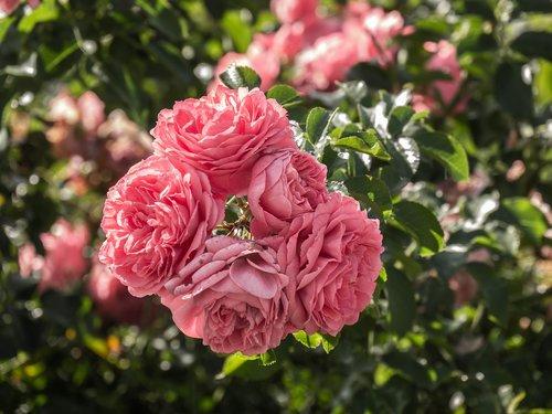 flowers  roses  rosebush