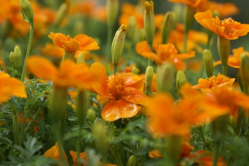 flowers  orange  marigold