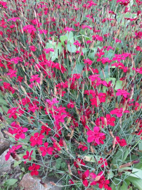flowers cloves ornamental plant