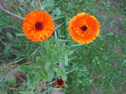 flowers  eyes  marigold