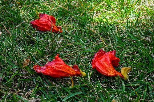 gėlės,raudona,african tulpenbaum,spathodea campanulata,bignoniaceae augalai,bignoniaceae