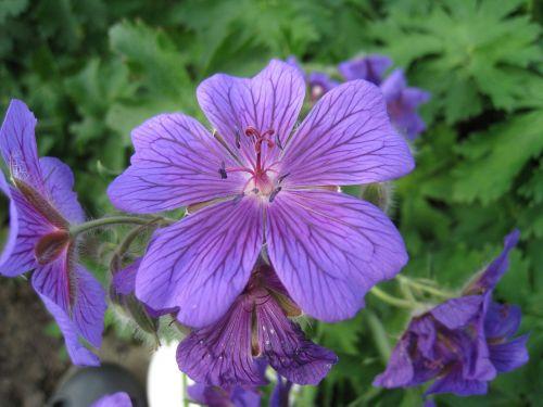flowers cranesbill blue