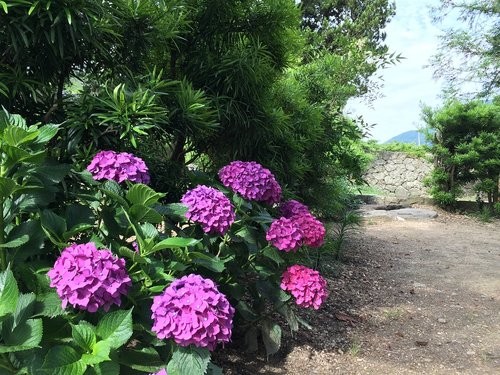 flowers  views  hydrangea