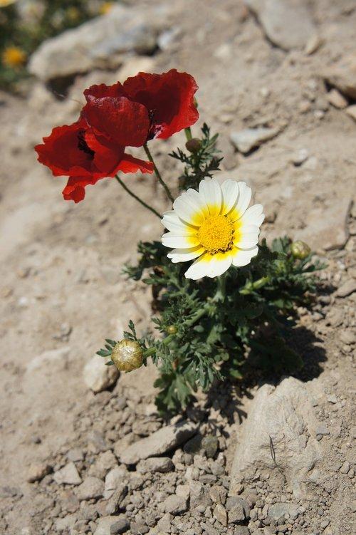 flowers  mack  desert
