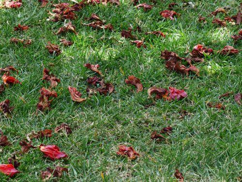 gėlės,žolė,pieva,negyvas augalas,sausas,raudona,african tulpenbaum,spathodea campanulata,bignoniaceae augalai,bignoniaceae,tulpių medis