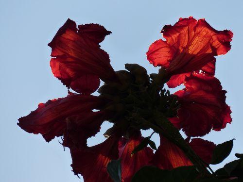 gėlės,raudona,tulpių medis,šviesus,african tulpenbaum,spathodea campanulata,bignoniaceae augalai,bignoniaceae,panicle,sepals