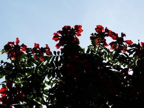 gėlės,raudona,tulpių medis,šviesus,african tulpenbaum,spathodea campanulata,bignoniaceae augalai,bignoniaceae,ant vynmedžio,sepals