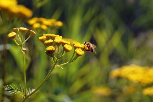 flowers yellow honey bee
