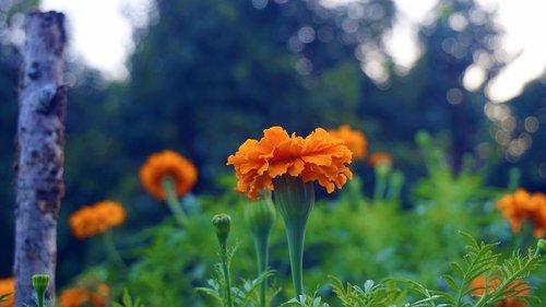 flowers  marigold  the petals overlap