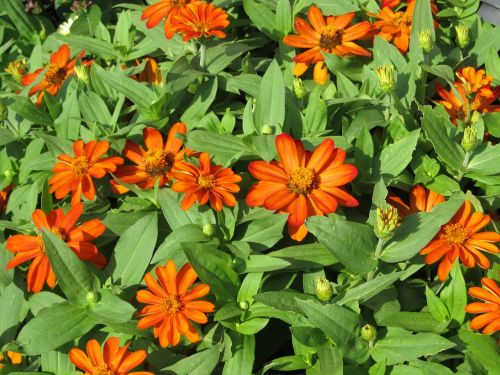 flowers small orange