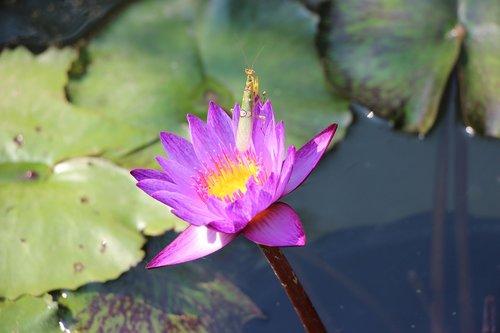 flowers  lotus  nature