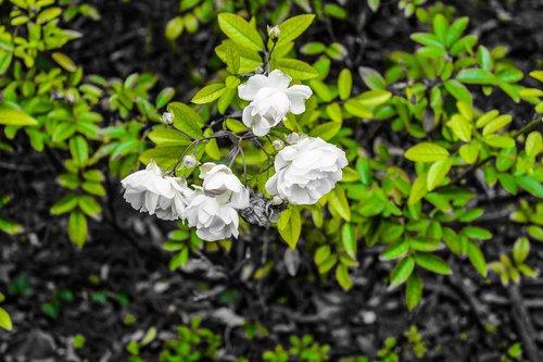 flowers  roses  green