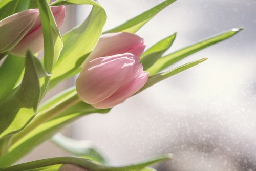 flowers  tulips  pink
