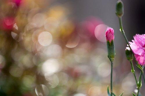 flowers  colors  clove