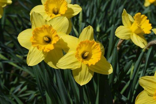 flowers  spring flowers  daffodils