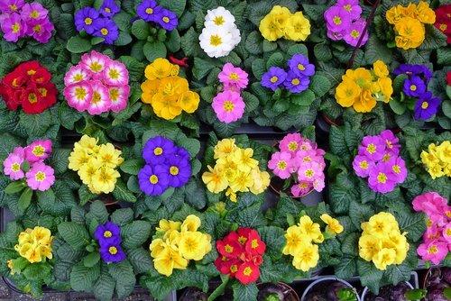 flowers  flower market amsterdam  bedding plants