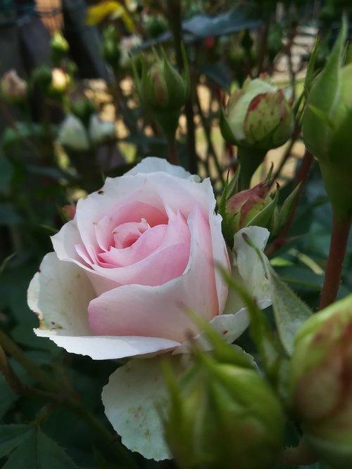 flowers  rosa  garden
