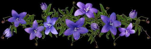 flowers  blue  campanula