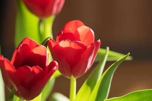 flowers  tulips  red